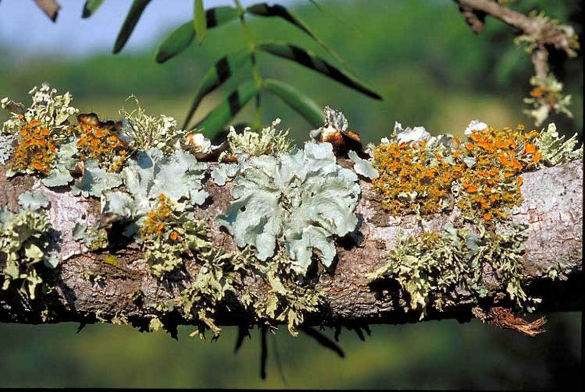 Leafy and branched lichens.