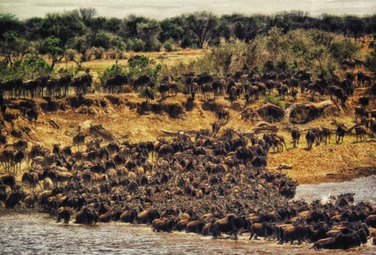 Wildebeest migration to the Masai Mara