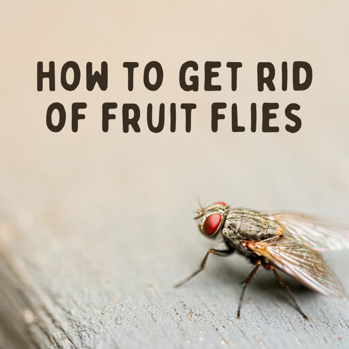 What to do if you have a fruit fly infestation