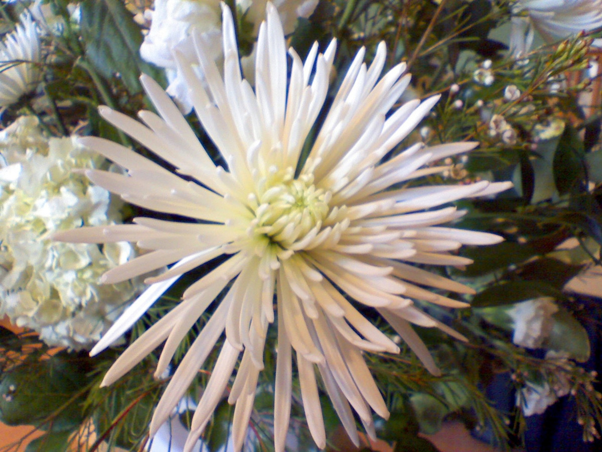 how-the-spider-mum-flower-thrivesa-sonnet-on-overcoming-obstacles