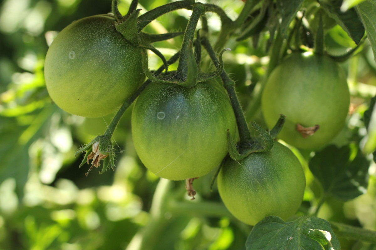 how-to-ripen-tomatoes-indoors