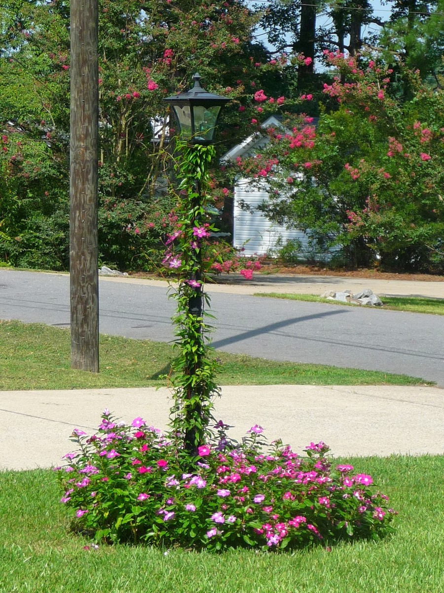 """Daddy's Periwinkle """"bush"""" around the solar lamp post"""