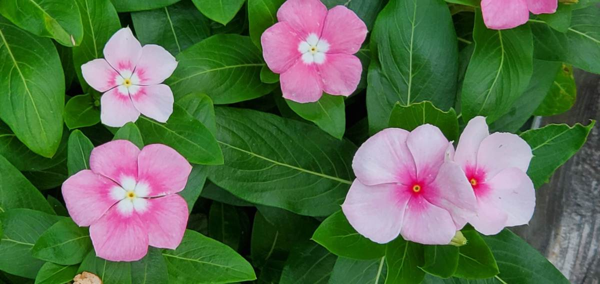 Pretty little periwinkle flowers (Catharanthus roseus)