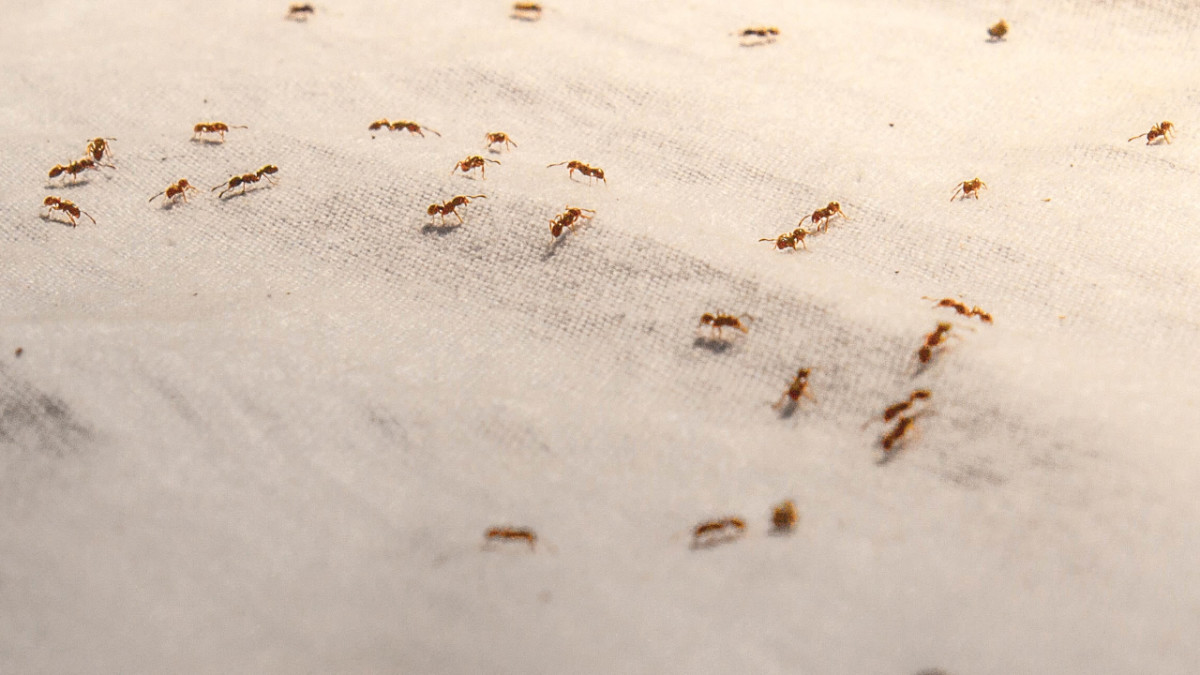 Red ants are easy to see on a boat cover. But there may be more lurking on board than you think