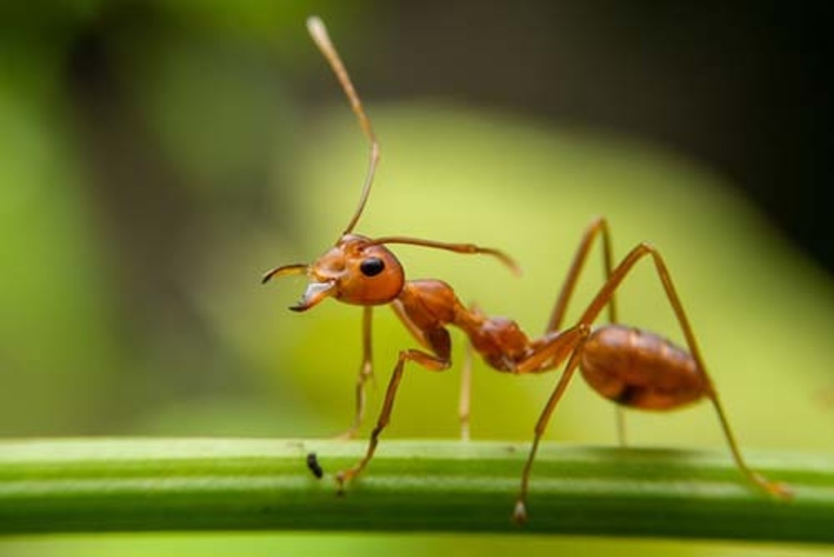 Red Ants In Florida