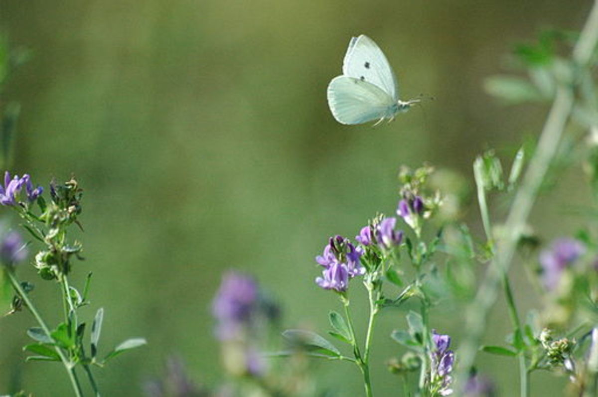 White Butterflies in My Garden