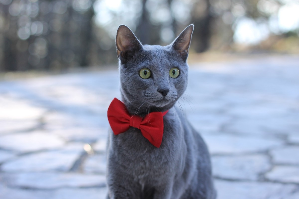 How to Take Care of a Russian Blue Cat ?