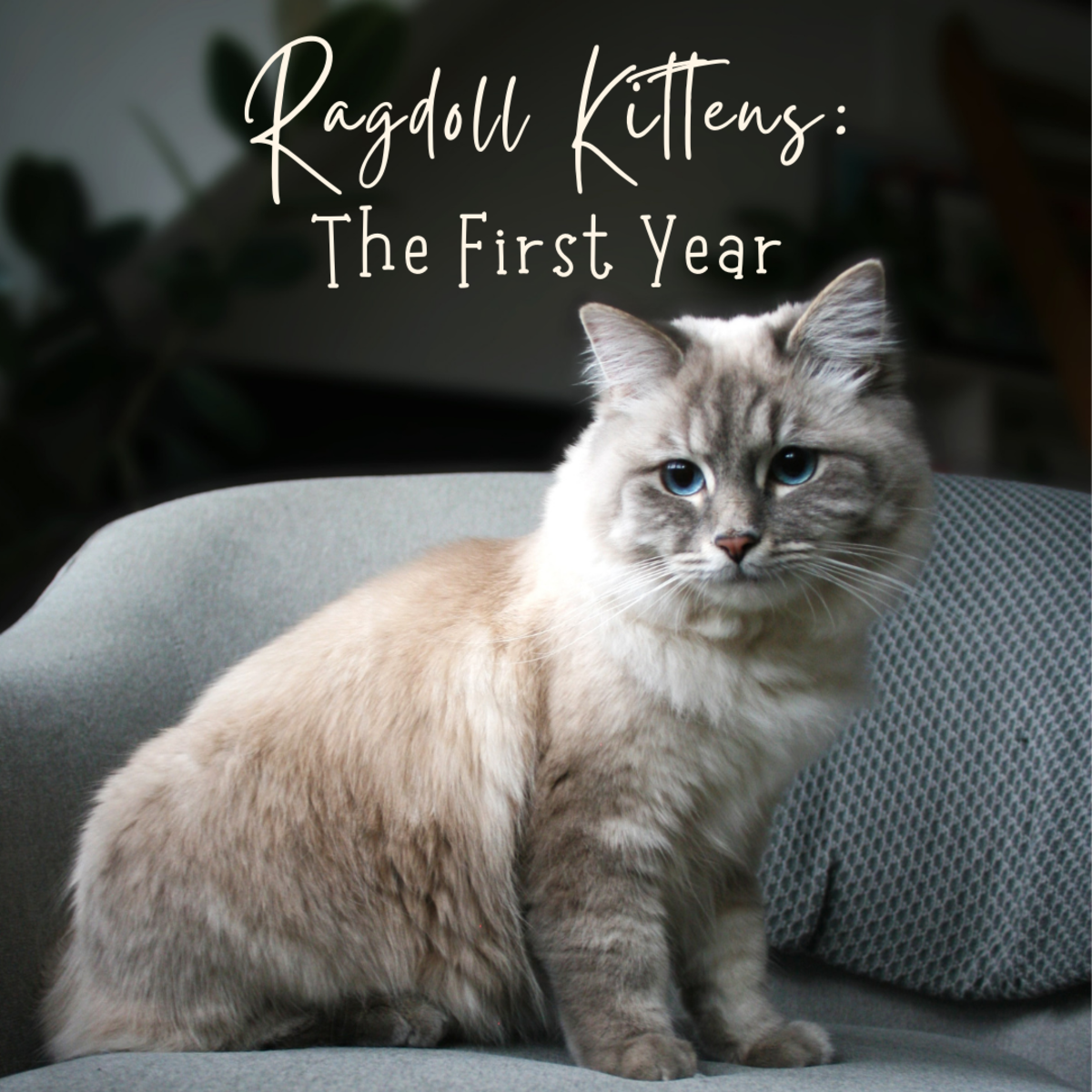 What to expect in the first year of your Ragdoll kitten's life