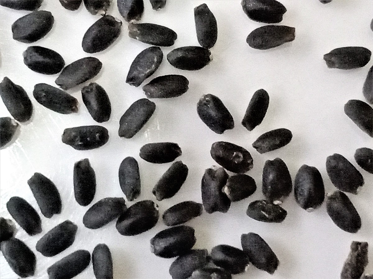 Close-up view of Sabja seeds