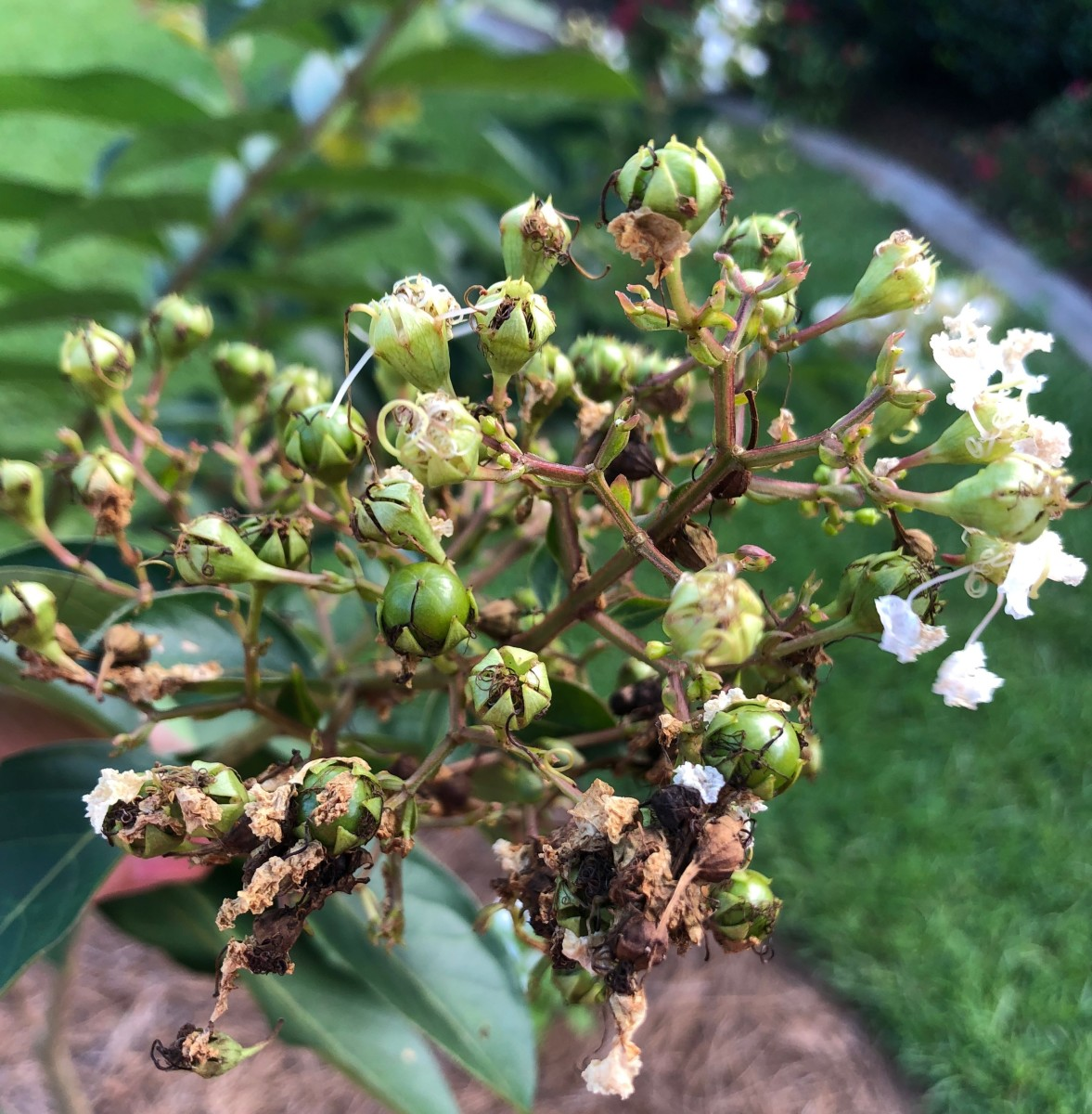 It's time to remove those spent blooms. Once these green seed pods turn brown, it will be too late.
