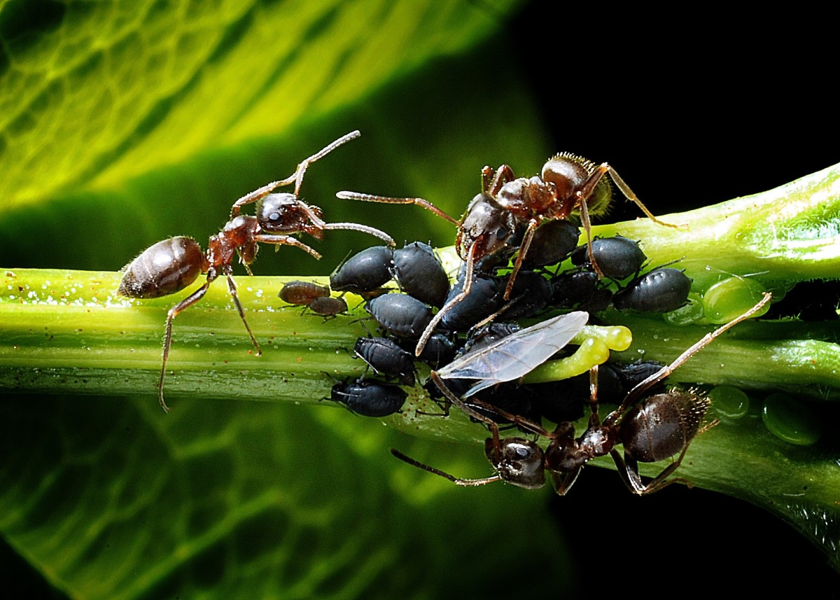 Ants and aphids often have a symbiotic relationship—which means if you have one, you probably have the other!