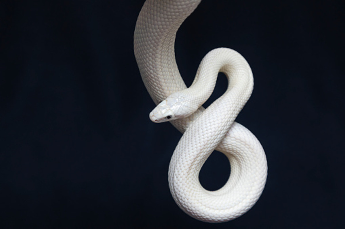 Snakes are symbols of both good fortune and bad in the world of superstitions.
