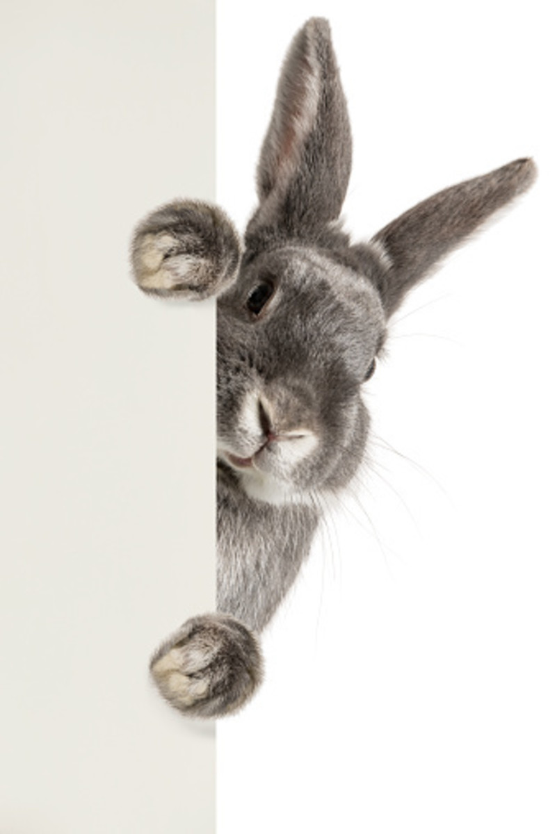 A rabbit's harmless exterior can sometimes be deceptive.