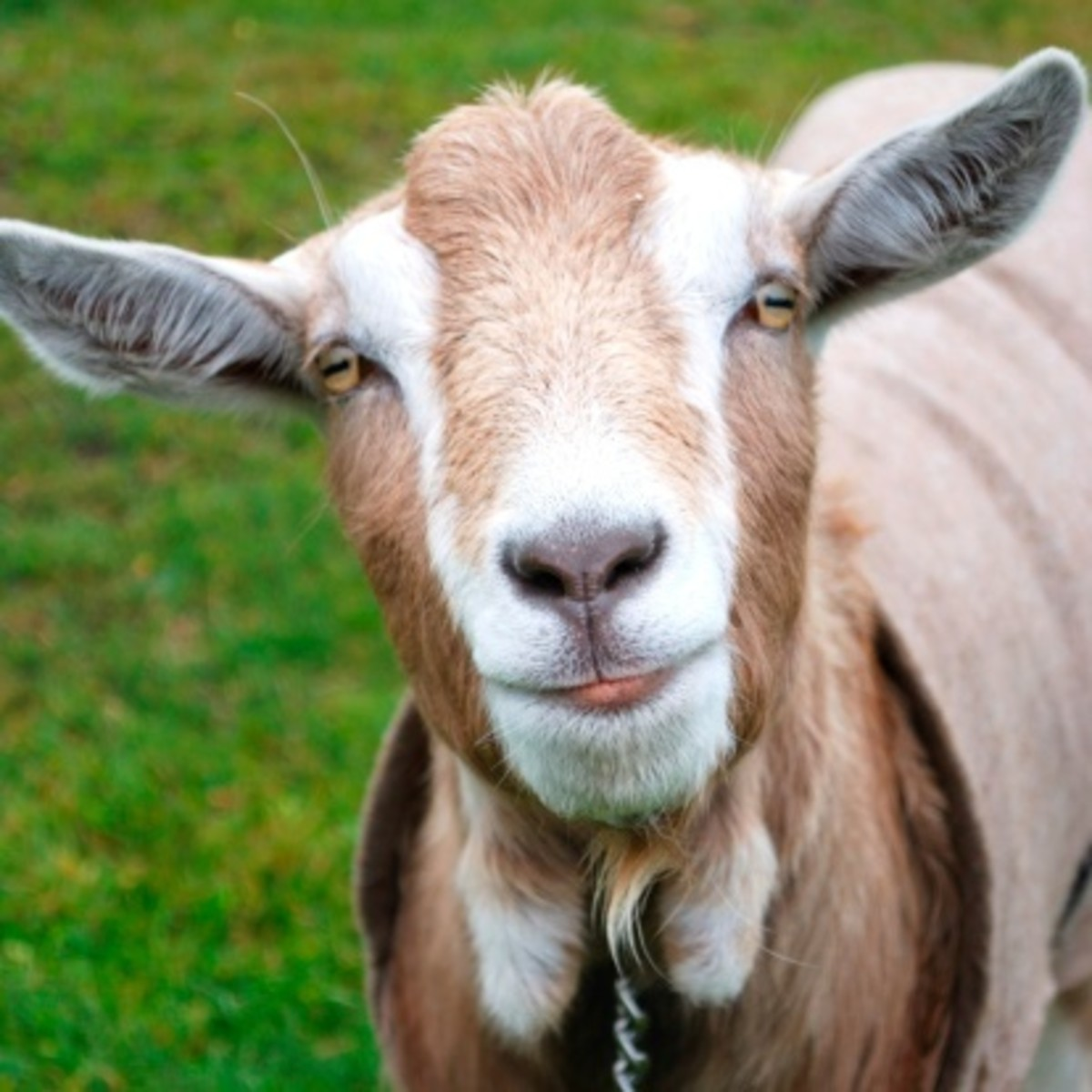 The goat's somewhat off-putting appearance has led some to believe that it courts evil.