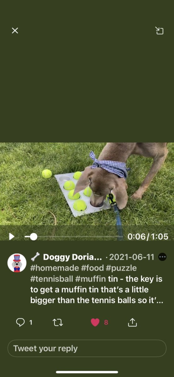 Watch this Weim play the Muffin Tin Game @doggydoriangray
