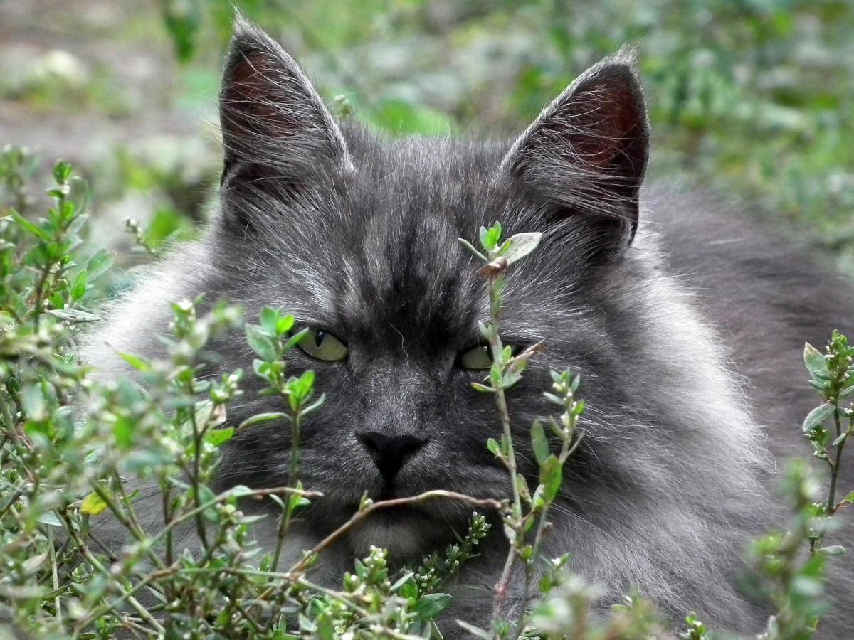 Siberian Cat facts