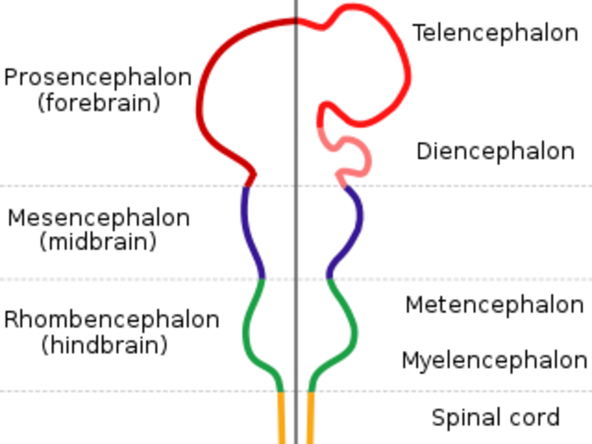 The entire human CNS is formed from walls   of a tube filled with fluid (the neural tube). The tube itself then becomes the brain's ventricular system.