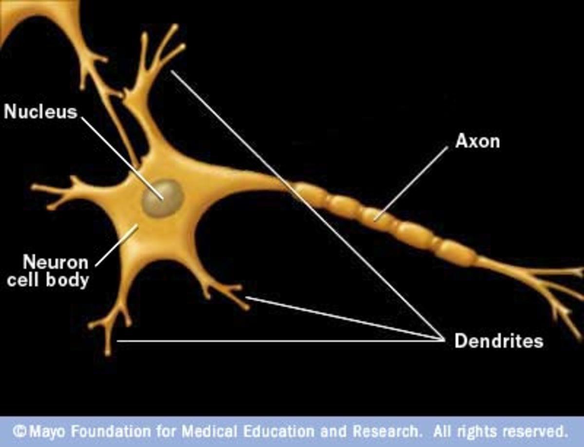 neuroanatomyexplained