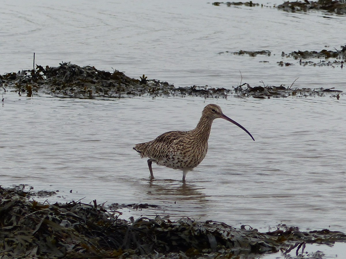 Hunting curlew, Budle Bay