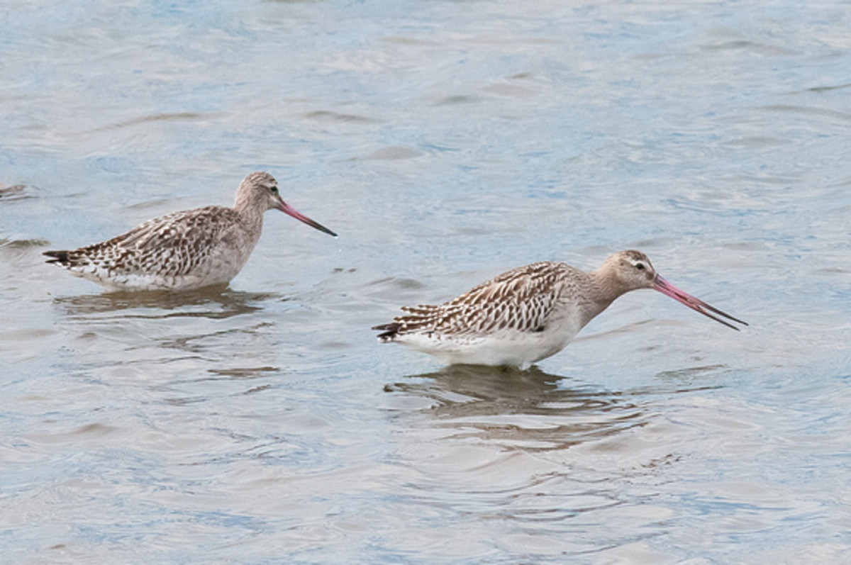 Bar-tailed godwits forage for small shellfish by the shore
