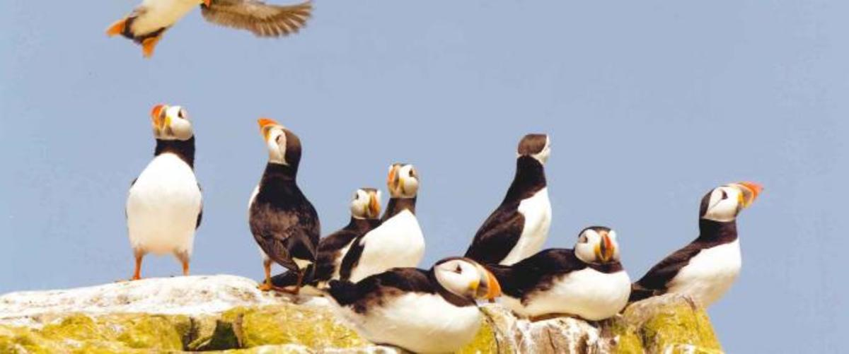 Something else Lindisfarne and the Farne Islands in general are famed for: puffins, a study from the files of the National Wildlife Trust