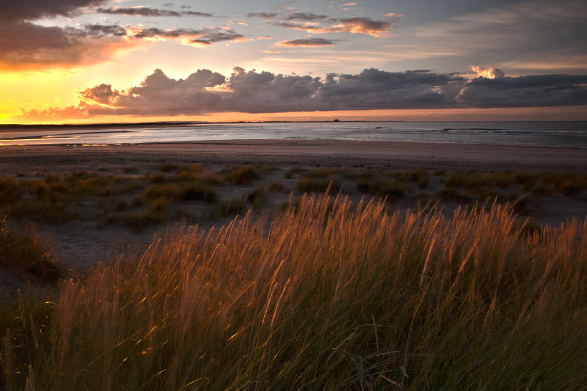 Budle Bay, marram grass blows in a gentle breeze from landward - this vegetation prevents the loss of land to strong sea currents by roots binding sand and soil