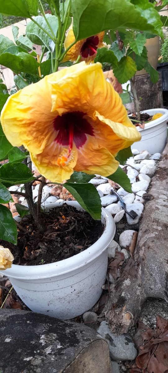 Flowers never stop to bloom to make people happy.It enlightens its gardener's place and delights its tiller. This yellow Hibiscus is a reminder to me that whenever life is getting tough, there is always hope that comes out...