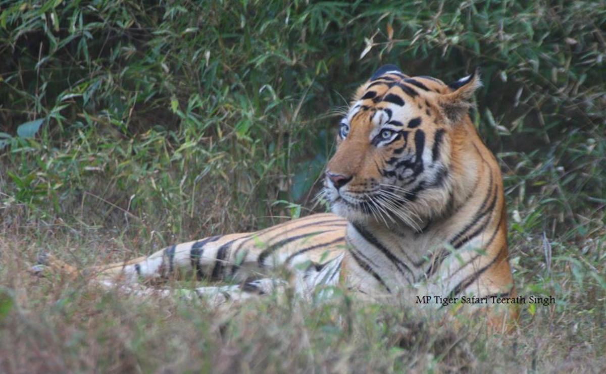 Bengal Blue Eyed Tiger