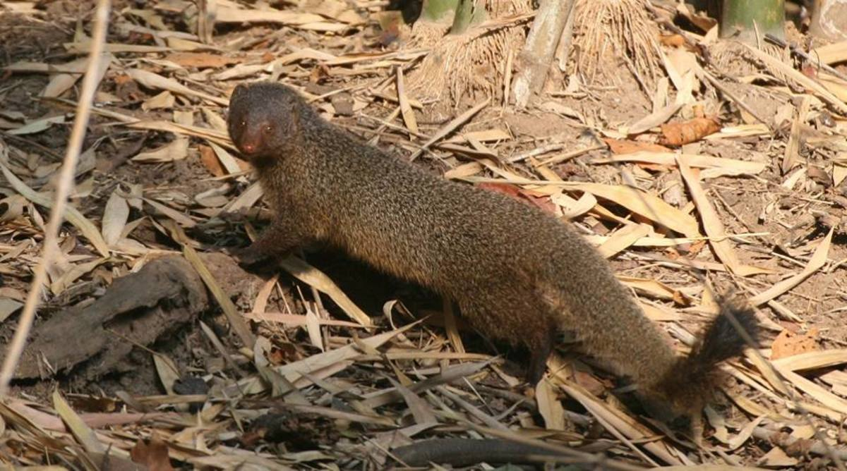 Ruddy Mongoose Photo