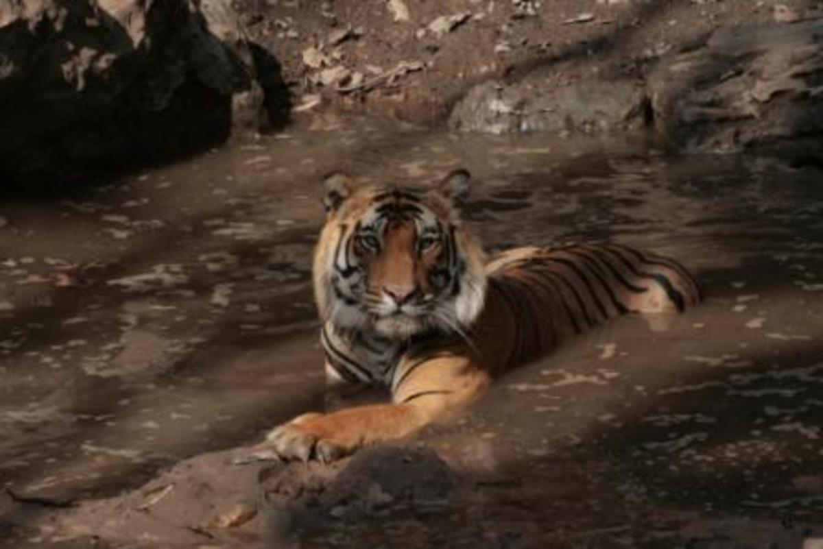 Tiger sitting in a stream