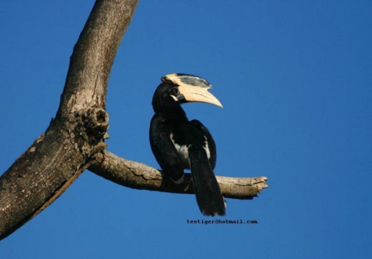 Malabar Pied Hornbill