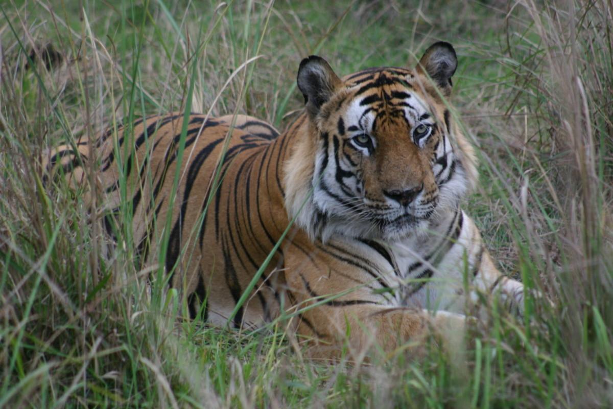Male Tiger of Bandhavgarh