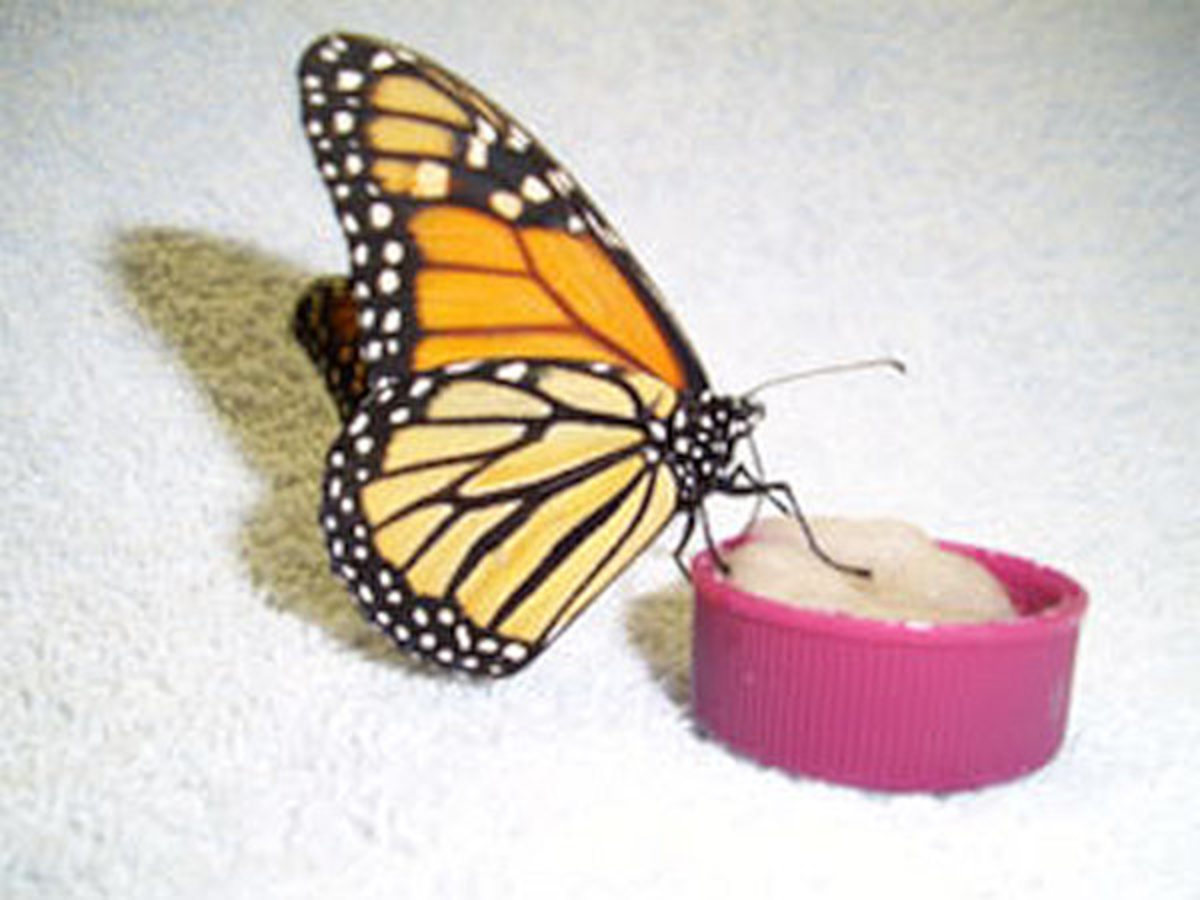 Feed butterflies in your garden with sugar.