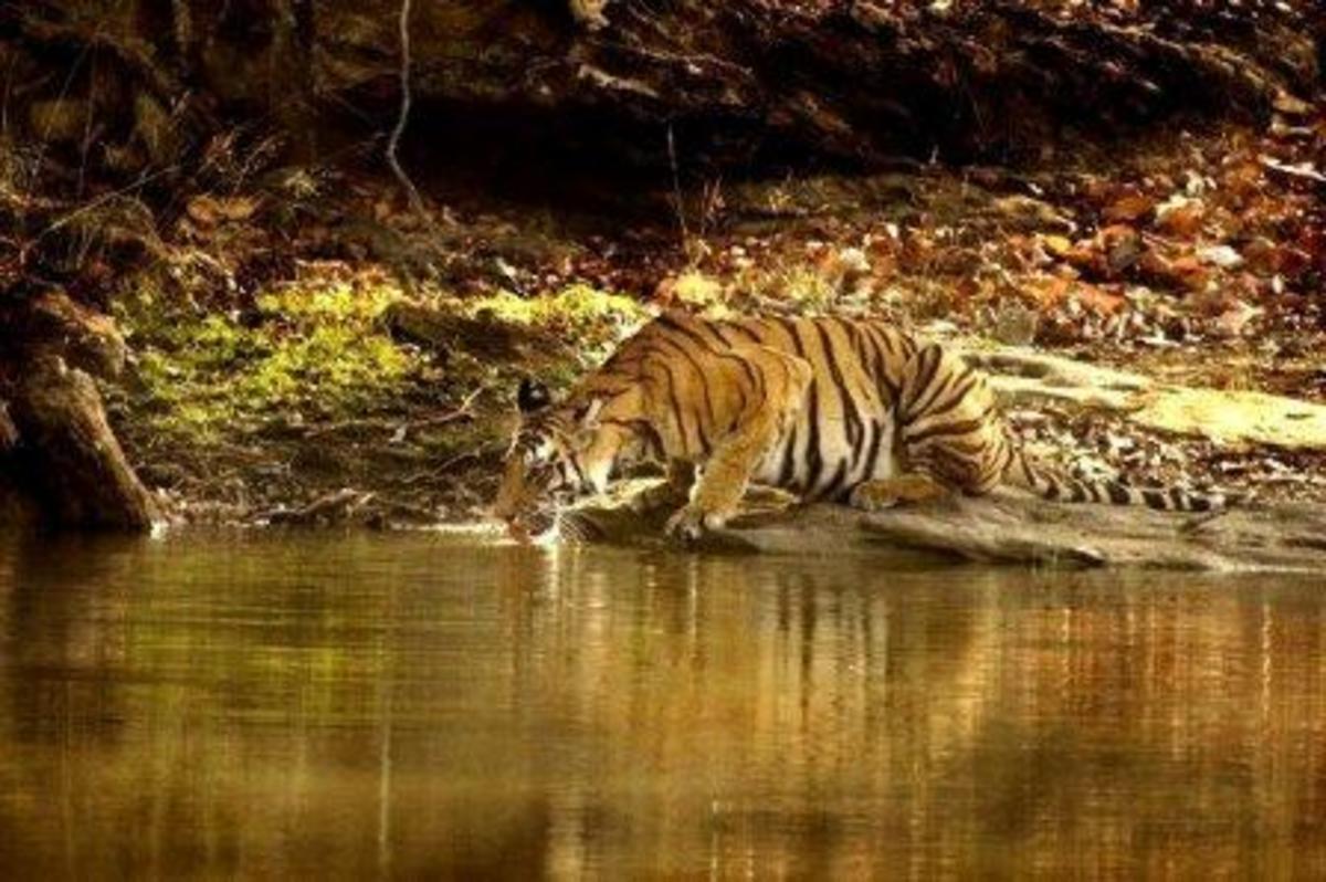 Tiger at water hole
