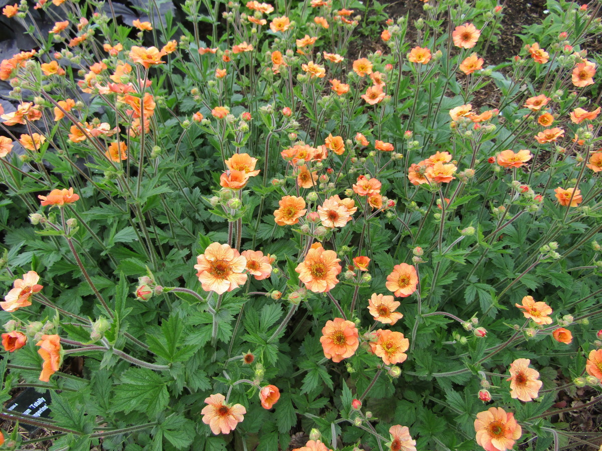 'Totally Tangerine' is one of the most popular geum cultivars, and it's easy to see why!