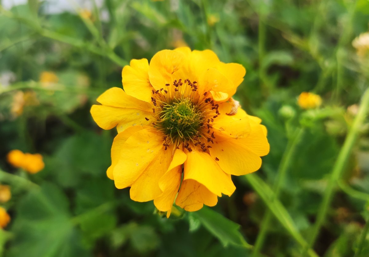 The gorgeous geum 'Lady Stratheden' showing her colors in my garden.