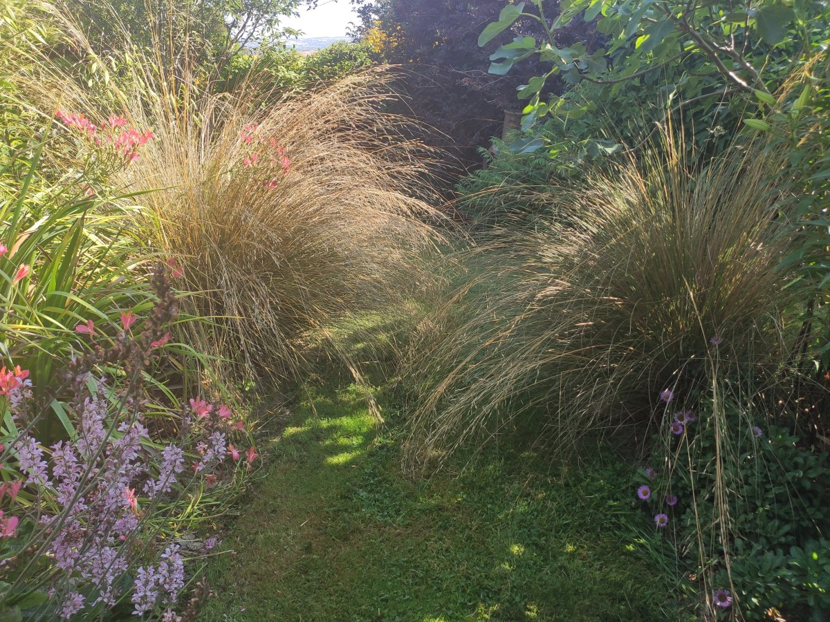 Red Tussock Grass requires no maintenance and adds gorgeous movement to the garden.