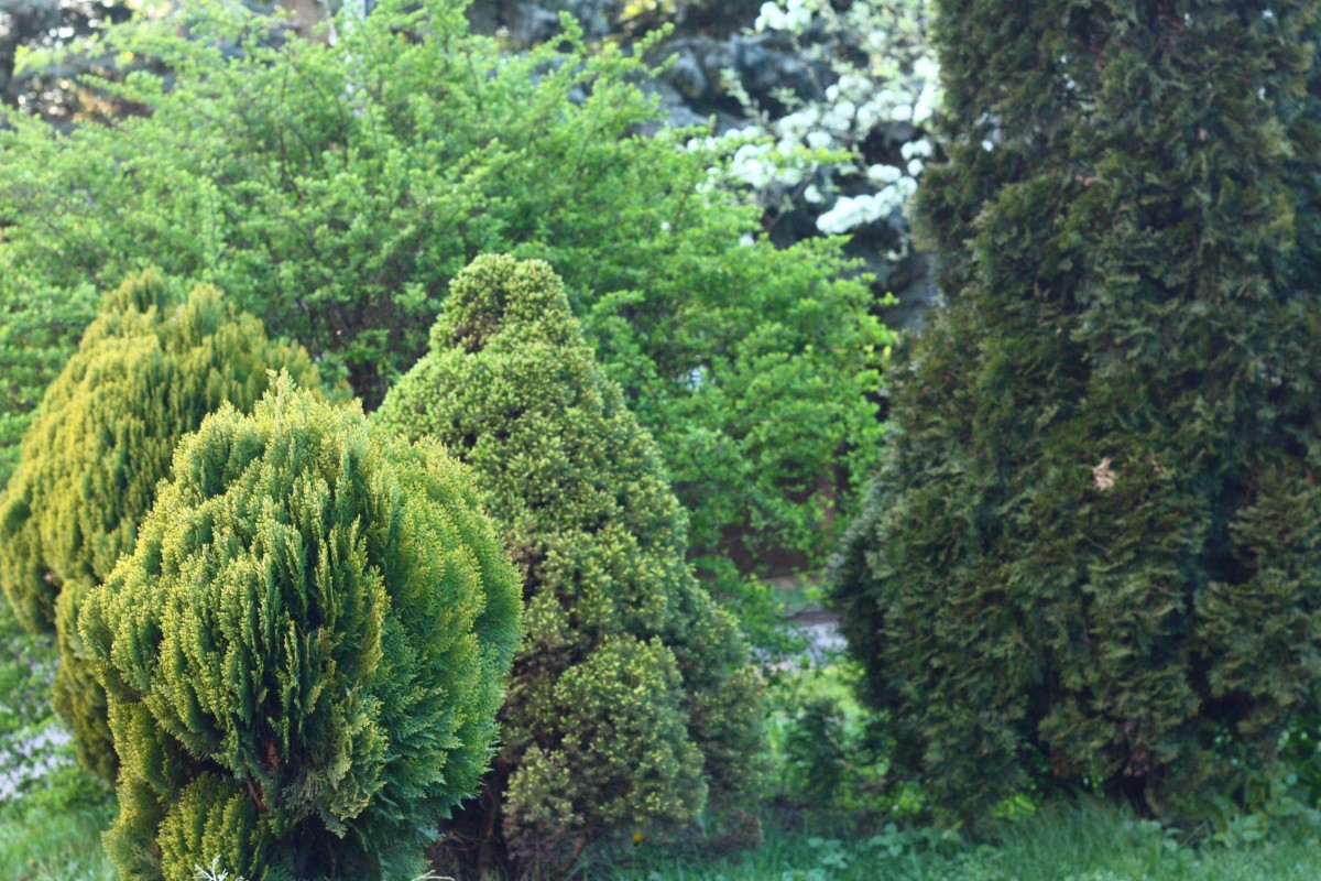 There are many reasons to plant evergreen shrubs on your property. Here are my top nine.
