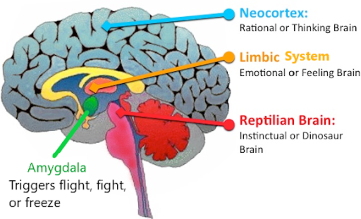 Human brain evolution suggests a 3-in-1 theory. This idea was developed by Paul MacLean, the person who discovered and named the Limbic System.