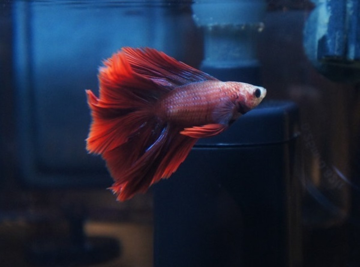 Bettas have beautiful flowing fins that could be damaged by aggressive fish. Always choose a tank mate that is not hostile.