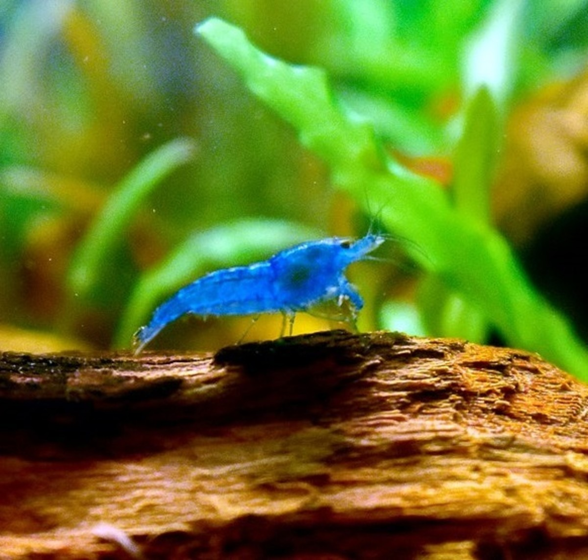 Aquarium shrimp is an excellent tank mate for a Betta. Shrimp spend their time eating algae off plants and extra food.
