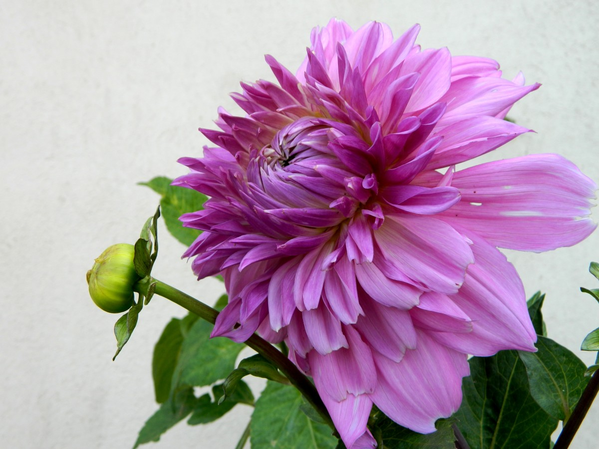Note how round the fresh dahlia bud on the left is. Spent blooms will be more pointed.