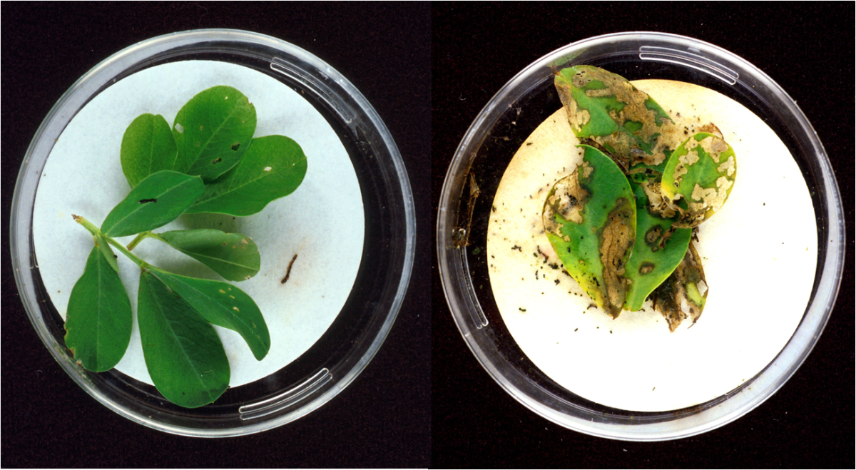 Bt toxins present in the leaves on the left protect it from the kind of extensive damage caused to the unprotected leaves on the right.