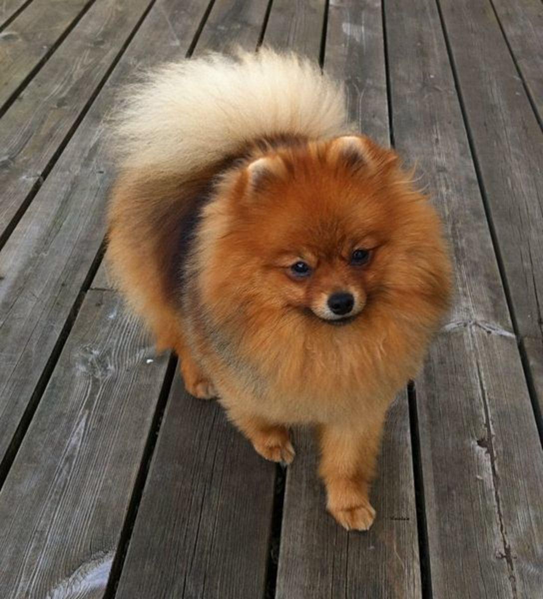 Pomeranian coats require daily brushing.