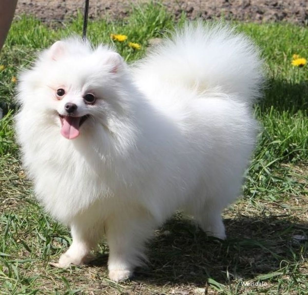 White is one of the more common coat colors for Pomeranians.