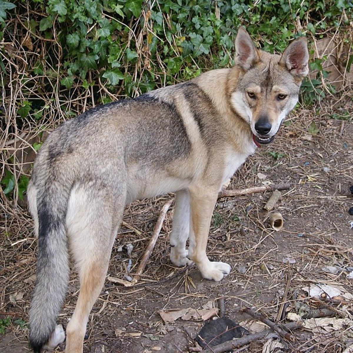 Utonagan (or Northern Inuit Dog)