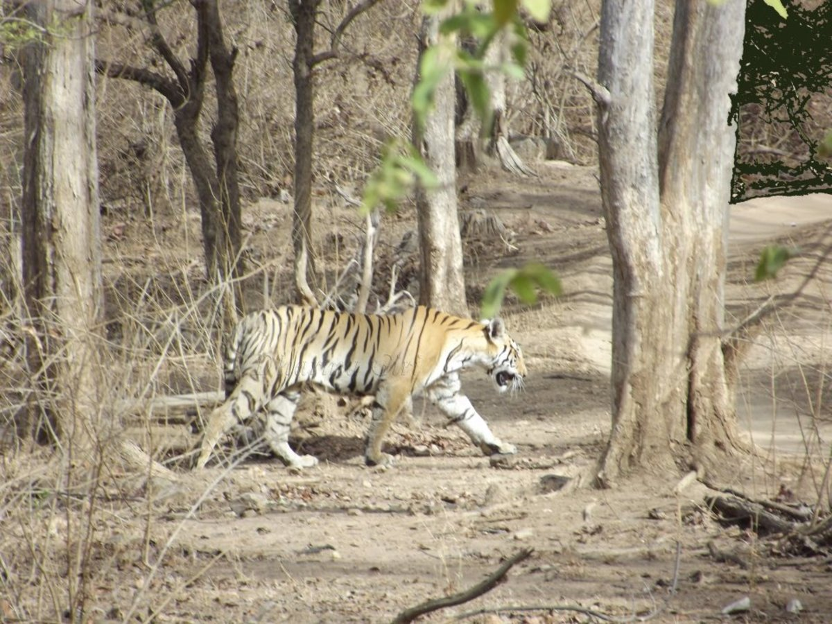 Big Cat at Pench