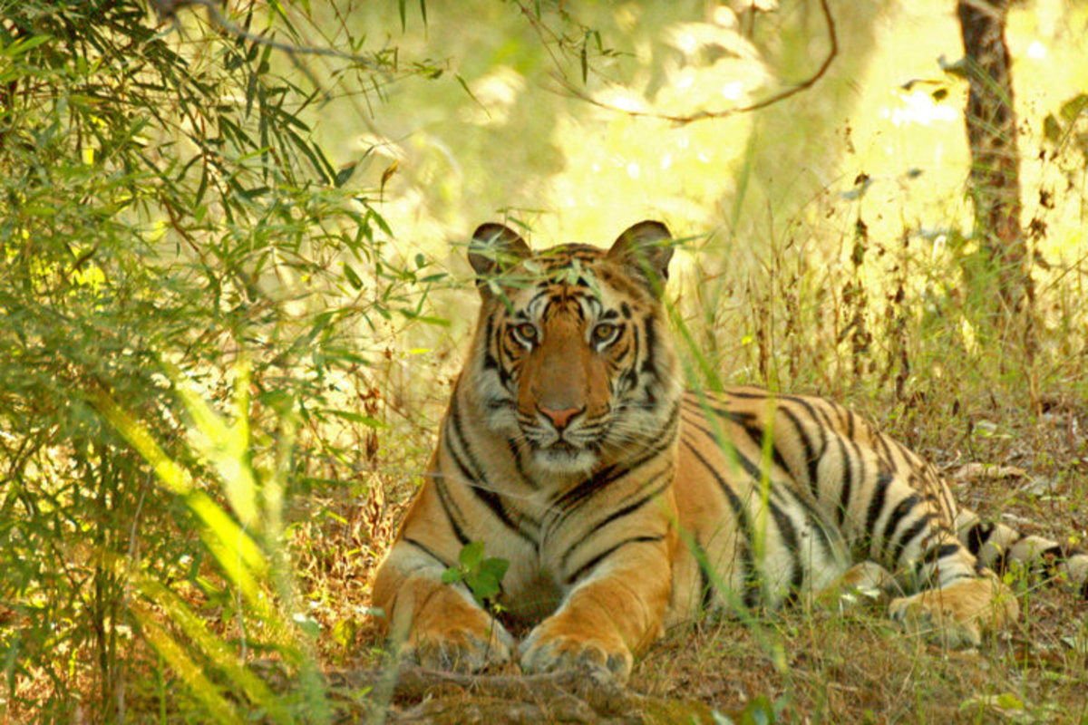 Tiger by Kamaljeet Singh
