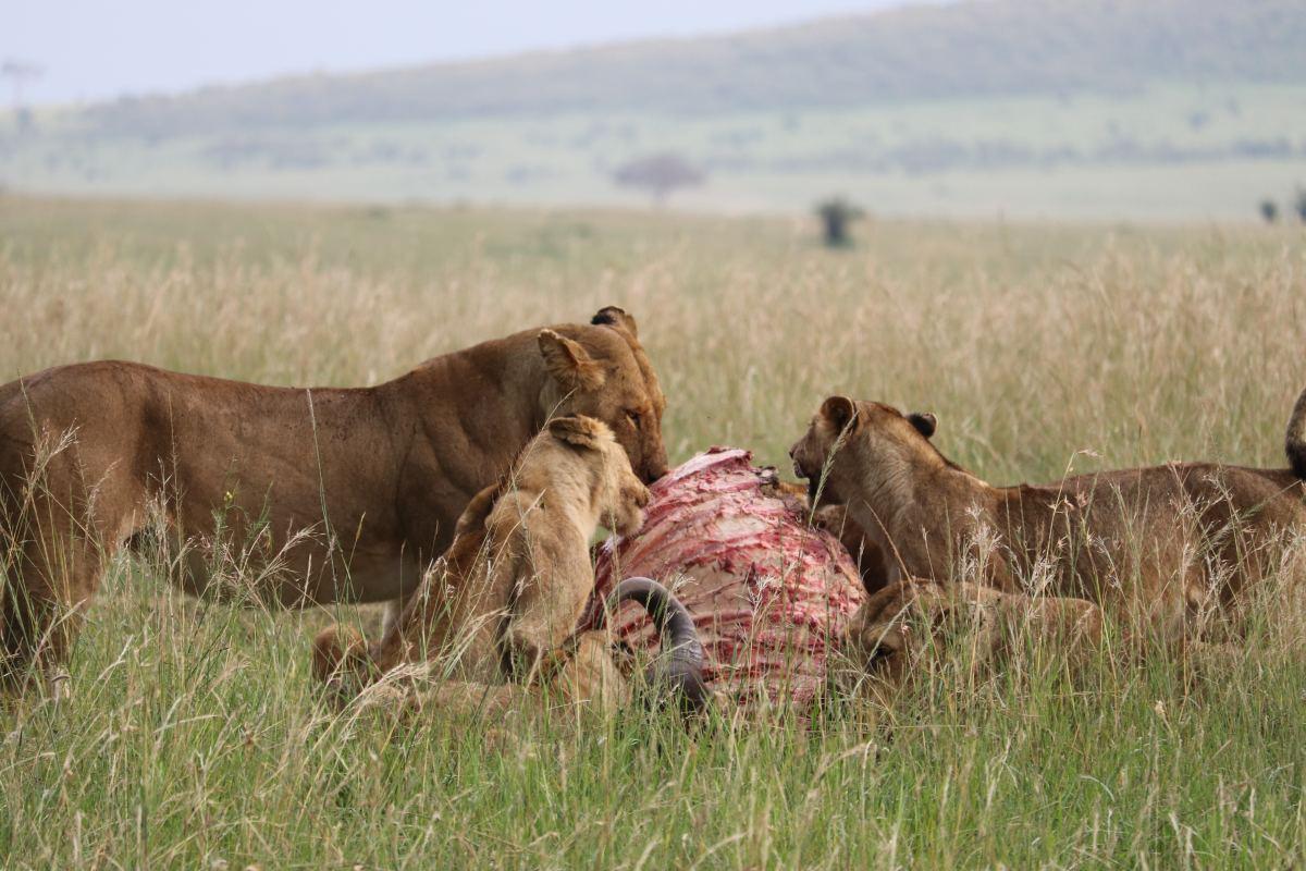Pride eating their prey