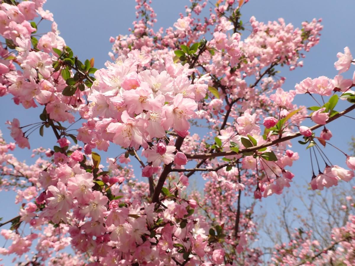 Be careful not to damage healthy bark when pruning cherry trees.